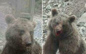 حکم بازداشت خاطیان آزار و اذیت خرس در ارومیه صادر شده است