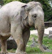 فیلم / مرگ وحشتناک یک مرد پس از حمله بی رحمانه فیل